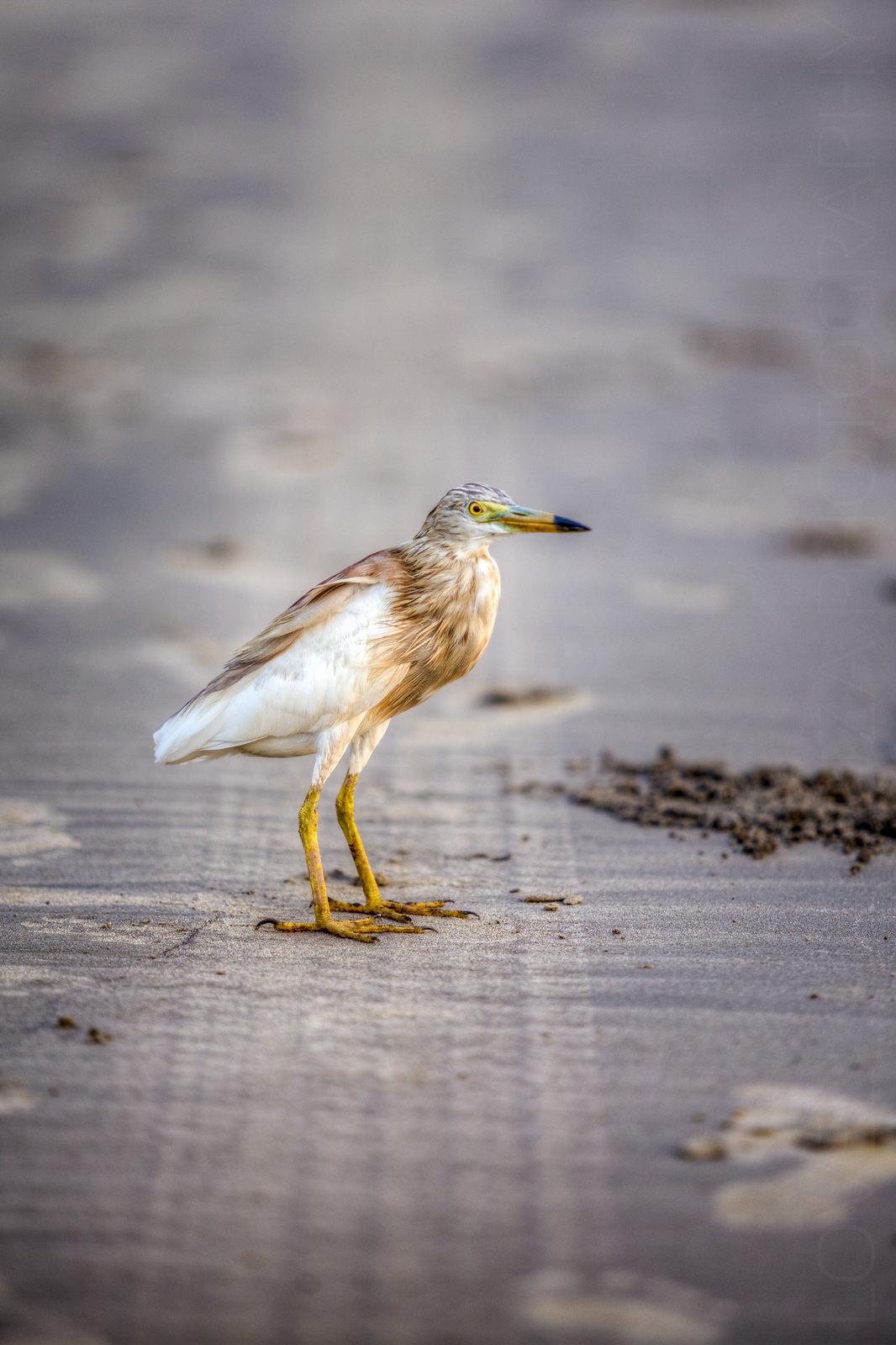 A Pond Heron at the Ashwem Beach