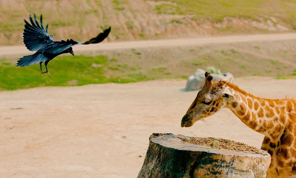 Giraffe and Raven_2