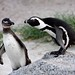 African penguin / spheniscus demersus by My Planet Experience