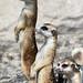 Three Meerkats by Connie Lemperle
