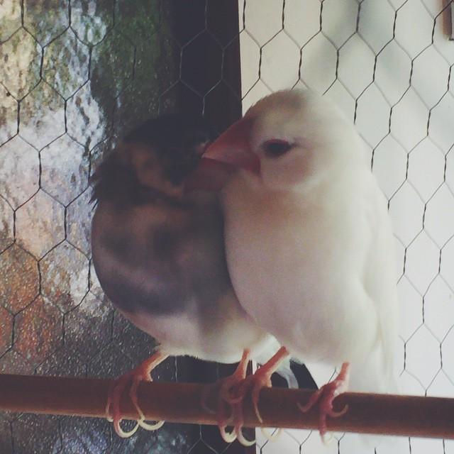 恋する文鳥 #文鳥