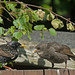 Starlings by Judi.Mahon