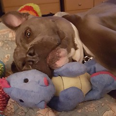 I think Sleepy Times With Dragons would be a much better show than Game of Thrones.  #bonnie_blue_bullie #pitbulllove #pitbullsofinstagram #dogsofinstagram #dontbullymybreed #endbsl #lovernotafighter #daddysgirl #cuteness