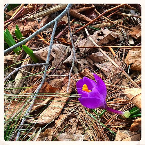A lone crocus, the only one I saw on my Easter walk #crocus #easter #amherst #amherstma #westernmass