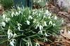 snowdrops in my garden