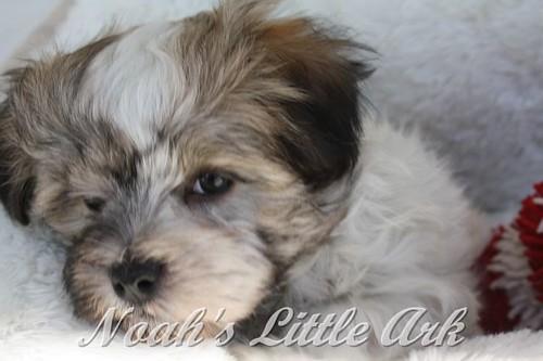 Havanese_Puppies_24080