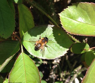 Honey bee on the rose leaves.