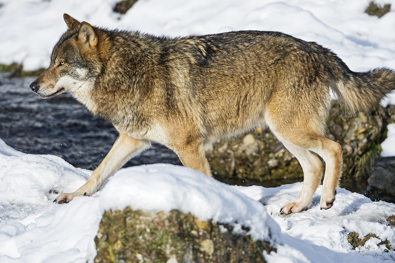 Wolf at the river