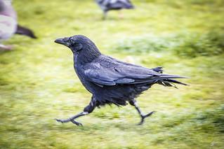 Running Crow | Amsterdam, The Netherlands