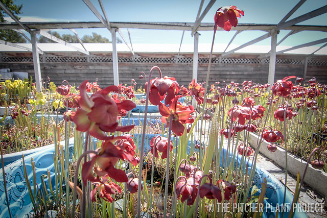 Carnivorous Plant Collection Surfing - 11 Apr 2015