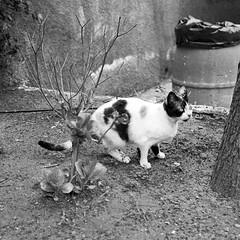 Sicily cat, Letojanni