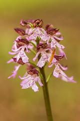 Purpur-Knabenkraut - Orchis purpurea #4