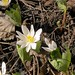 W. Sanguinaire du Canada IMG_4684 41
