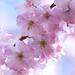 Ugatsu-zakura. Winterbloeiende kers (Prunus subhirtella). d 19 by George Ino