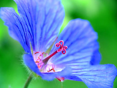 first summer geranium