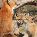 Red Fox Female w/ Kits by Sara Turner Photography