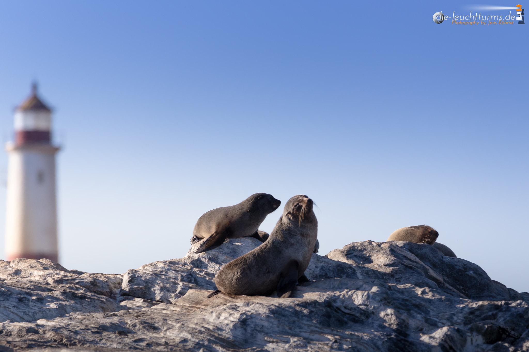 Brown fur seals on Point DIaz