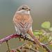 DSC7382  Red Backed Shrike.. by jefflack Wildlife&Nature