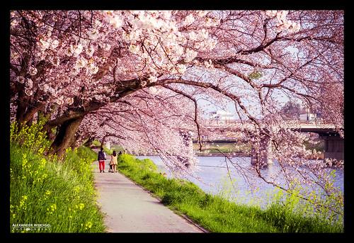 world travel summer tree travelling japan river cherry japanese ancient nikon view culture buddhism best 日本 nippon tradition shinto japon okazaki nihon japani 2014 japón 四国 일본 honshu shintoism 2015 d610 岡崎 本州