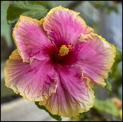 Yellow-Pink hibiscus close up-1=