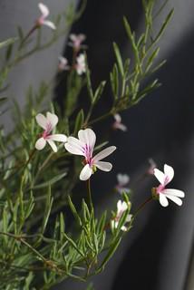 P. laevigatum