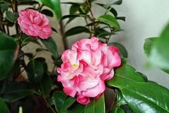 the world 39 s newest photos of camellia and kamelie flickr hive mind. Black Bedroom Furniture Sets. Home Design Ideas