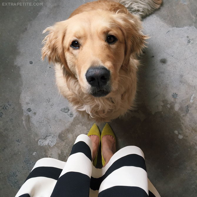 golden retriever lola modcloth striped skirt