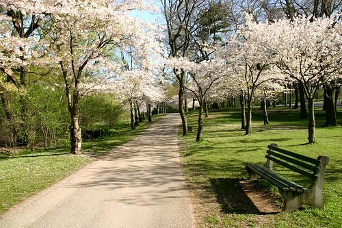 Toronto: High Park cherry blossoms