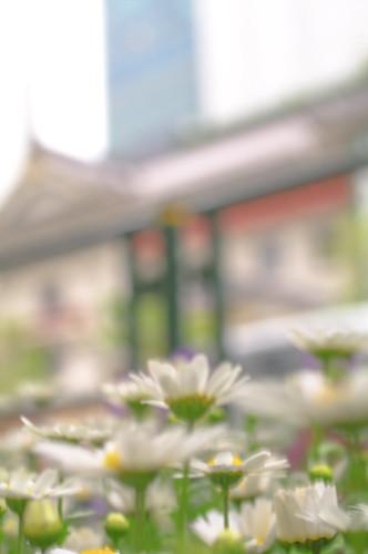 歌舞伎座前の花 : マーガレット? つつじ?