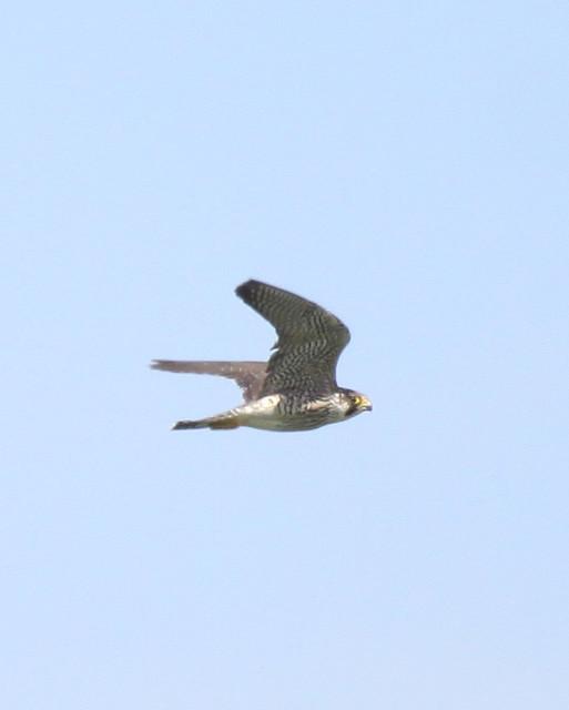 Falco pelegrinoides, Barbary Falcon, Halcón de Berbería