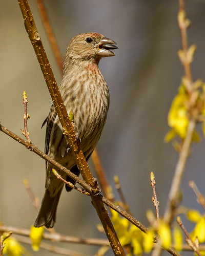 female pennsylvania housefinch carpodacusmexicanus bradfordcounty