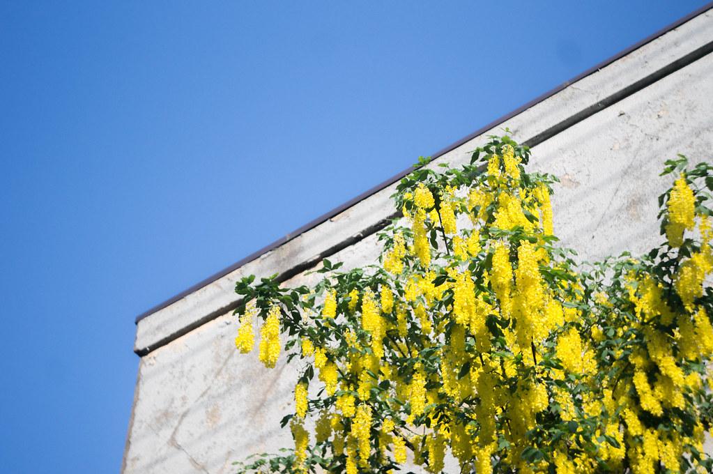 黄色い藤?