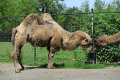 Camels drinking water (8)