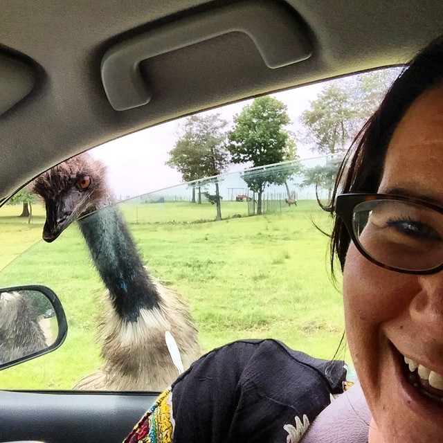 Emu Selfie Bomb! This is why they suggest only keeping your window two inches open at the Promised Land Drive-Thru Zoo. Hahaha!!! #emu #selfie #photobomb
