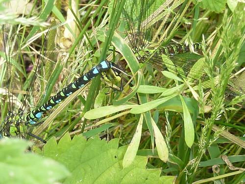 Paarung der Blaugrünen-Mosaikjungfern? , NGIDn94134406