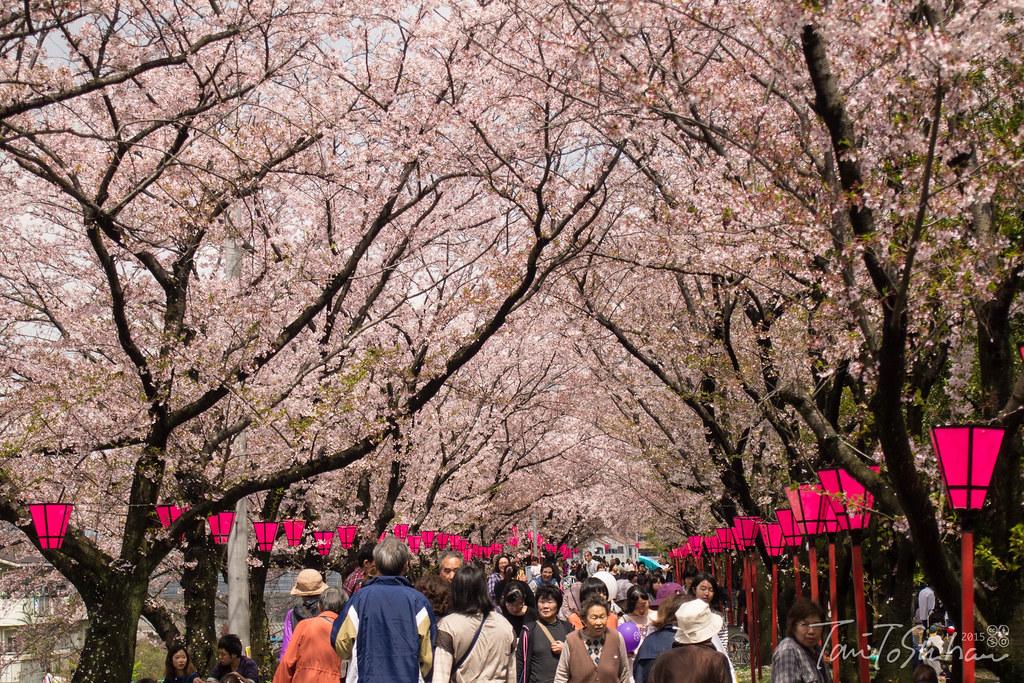 はつかいち桜まつり2015