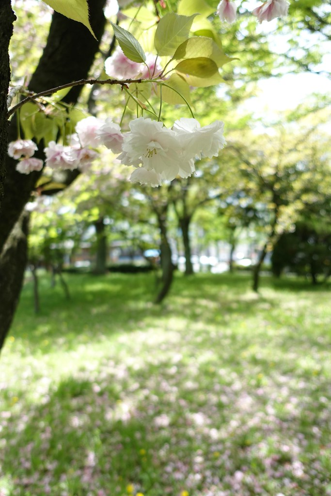 Double-flowered cherry blossoms in Nagoya City Archives No.7.