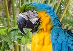 Blue and Gold Macaw at Ardastra Gardens, Nassau