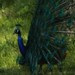 Small photo of Peacock in Full Dress Regalia
