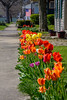 Small Town Tulips