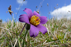 Pasque Flower (Pulsatilla vulgaris) - Photo of Rouvres
