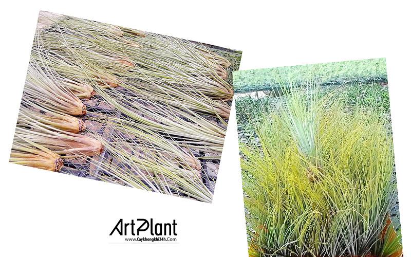 art plant | cay khong khi | tieu canh khong khi | terrarium | khong khi dai phuc