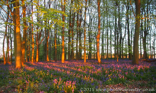 Bluebells with Sunset Glow