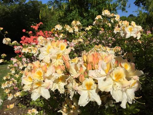 2015-05-16 Deciduous Azaleas (1) © Marie-Louise Agius