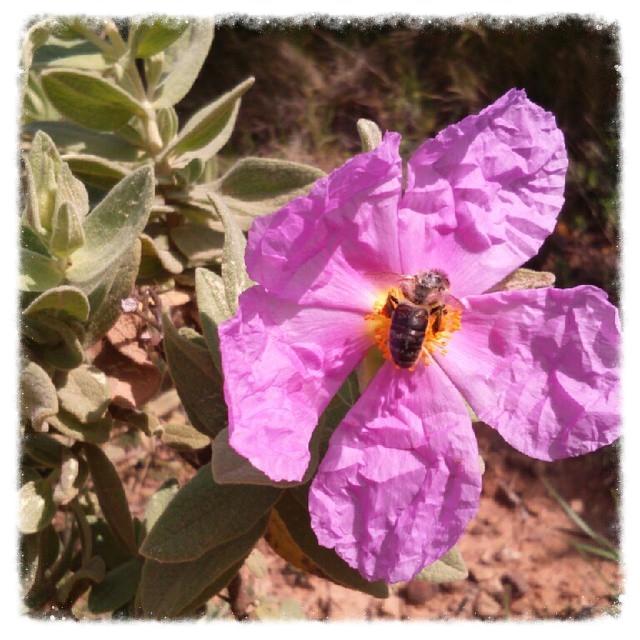 la photo du jour sur notre blog : On dirait le Sud ! , fleur, abeille, photodujour