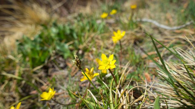 Ranunculus, m766
