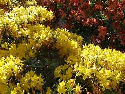 Zesty Deciduous Azaleas © Nigel Philpott