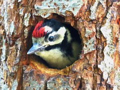 Pic épeiche - Great Spotted Woodpecker