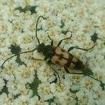 rajzos virágcincér - Pachytodes erraticus