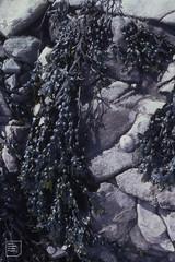 Fucus vesiculosus, many bladders, Breaksea Point, October 1982